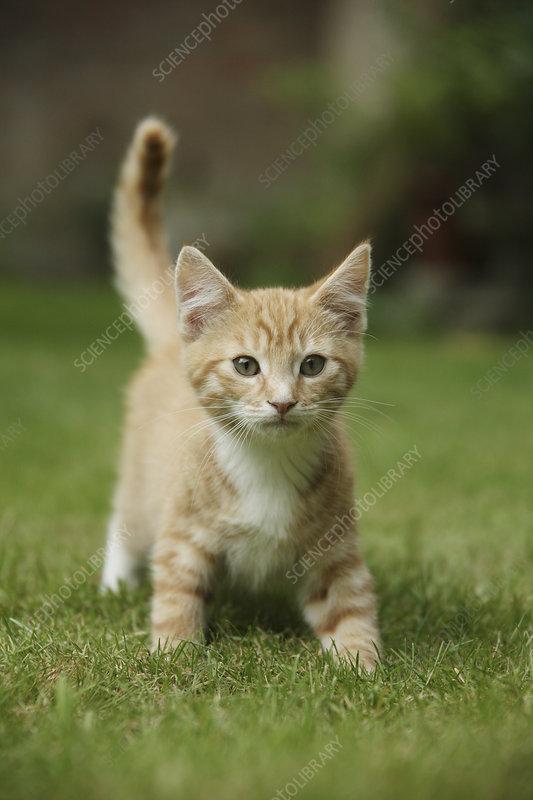 Ginger kitten walking on lawn