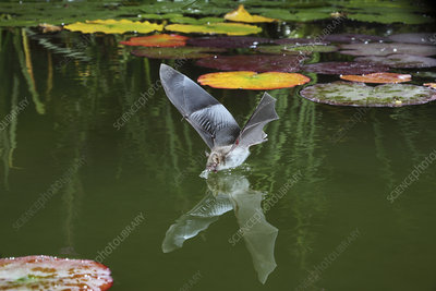 Natterer's bat drinking from the surface of a lily pond