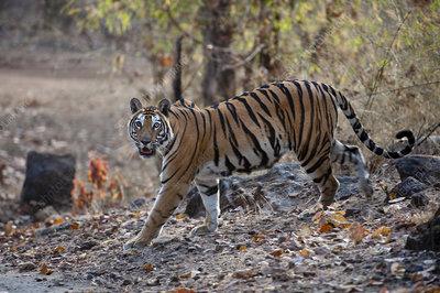Adult female Bengal Tiger