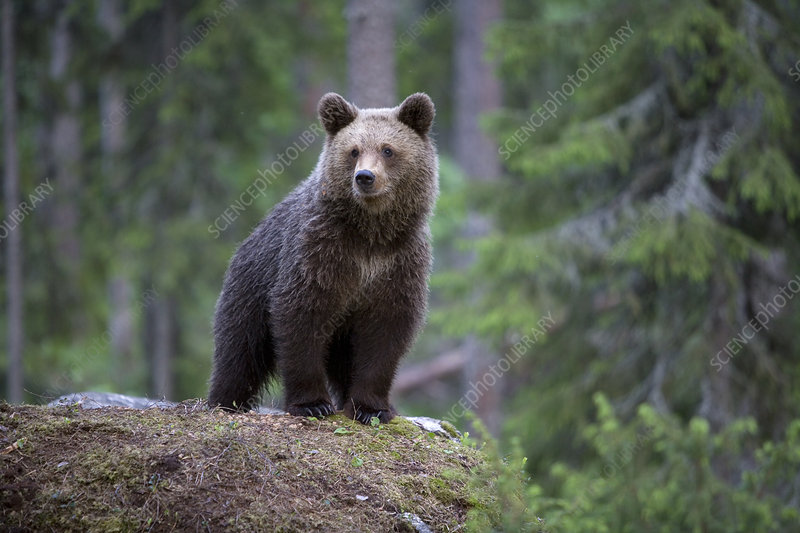 European brown bear cub, Finland