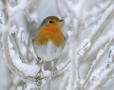 European Robin perched in snow, Wales, UK