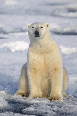 Polar Bear sitting on pack ice, Svalbard, Norway