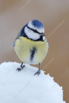 Blue Tit in snow, Wales, UK