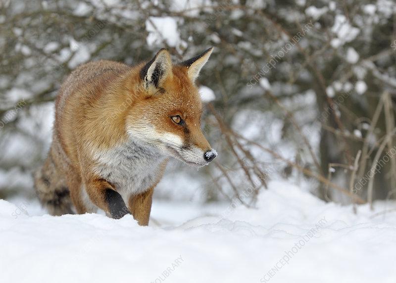 European Red Fox in snow, UK