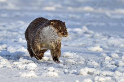 European Otter walking across snow, UK