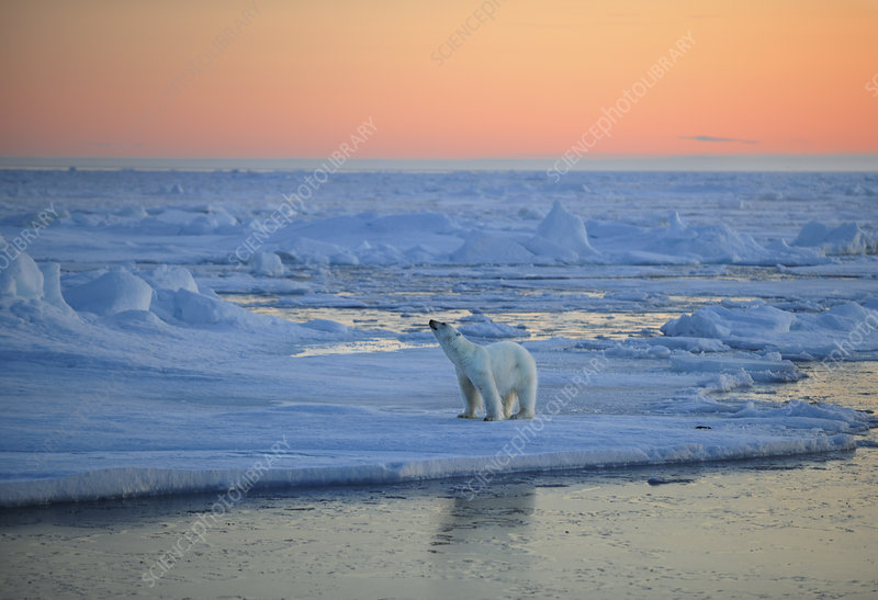 Polar Bear on pack ice, sniffing the air at sunset