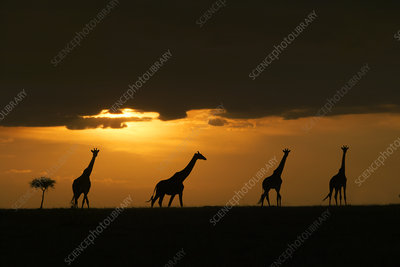 Four Masai giraffes silhouetted on plains at sunset