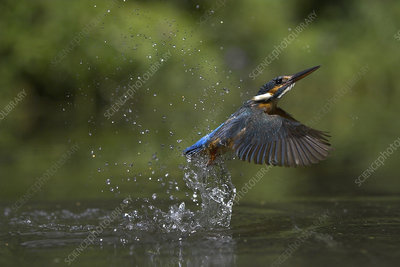 Common kingfisher flying up from water, UK