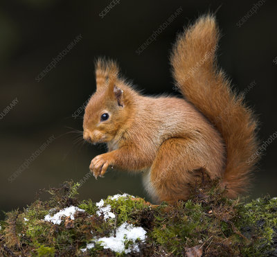 Red squirrel sitting on moss covered branch, Scotland, UK