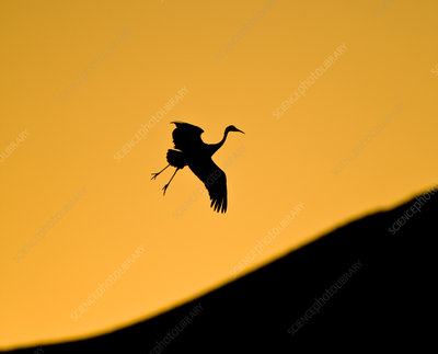 Sandhill crane returning to roost at sunset silhouetted