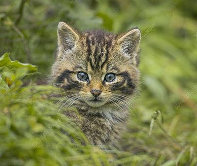Scottish wild cat kitten outside den