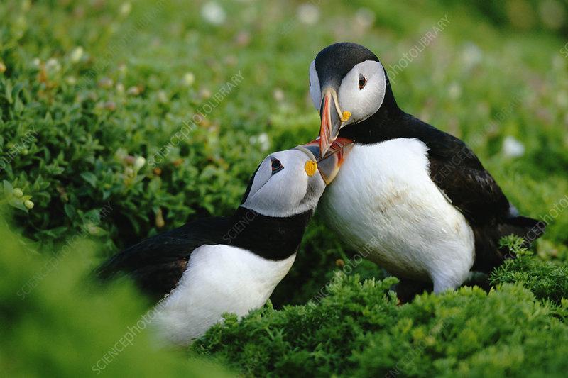 Puffin pair greeting, Skomer, UK