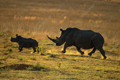White rhinocerous with calf silhouetted at sunset