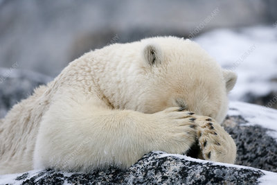 Polar bear with paws covering eyes, Svalbard, Norway