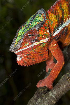 Male Panther Chameleon in aggressive posture