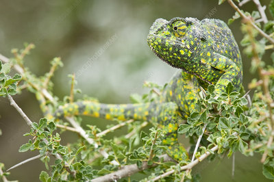 Adult Flap-necked Chameleon