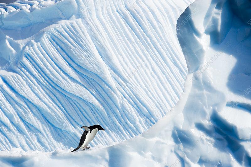 Adelie Penguin on iceberg, Yalour Islands, Antarctica