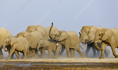 African elephant female herd approaching waterhole