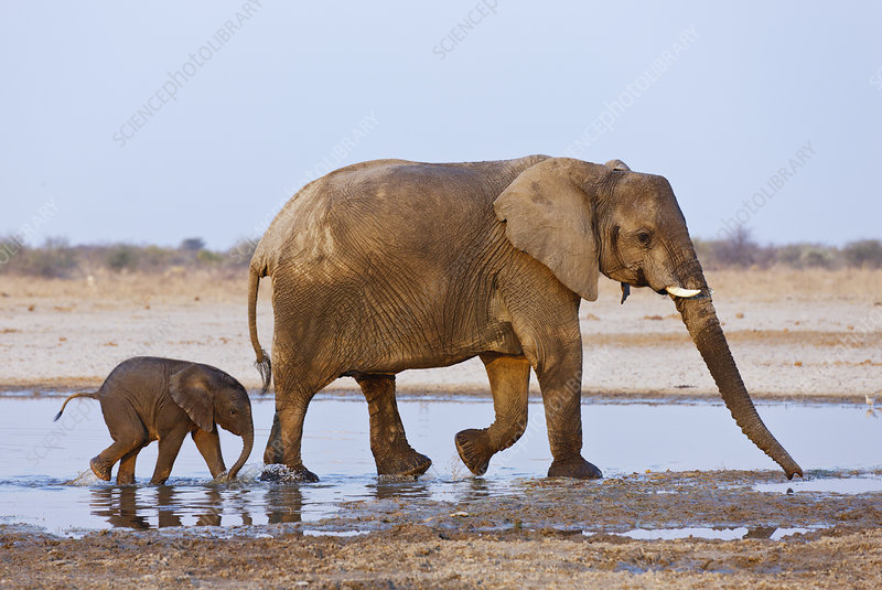 African elephant mother and baby walking through water