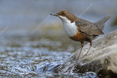 Dipper, standing on exposed stone in fast flowing river