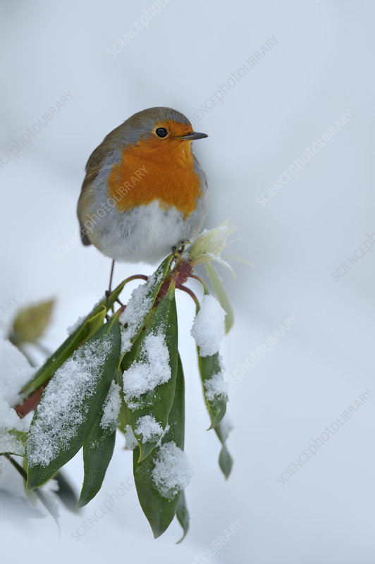 European Robin perched on snow covered branches