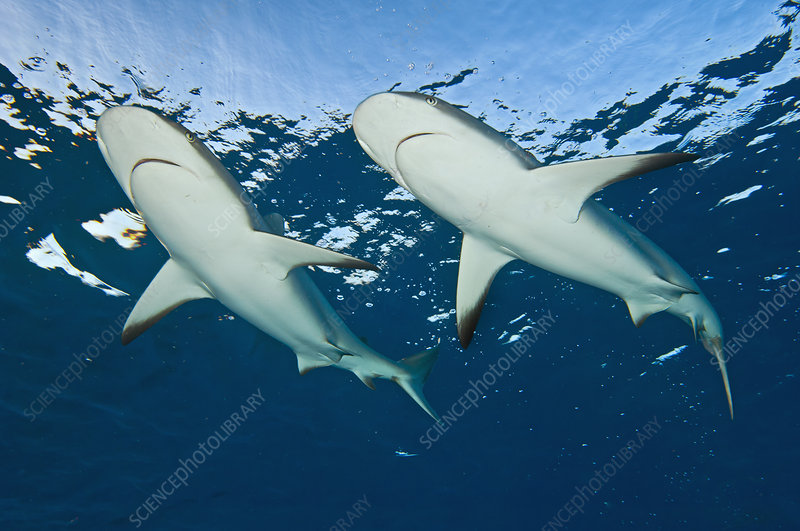 Two Caribbean reef sharks at the surface