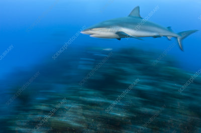 Caribbean reef shark cruises over a coral reef