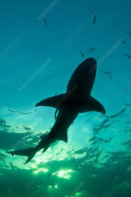 Lemon shark silhouette, Little Bahama Bank, Bahamas
