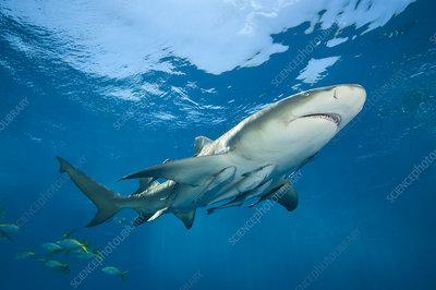 Lemon shark accompanied by Remoras