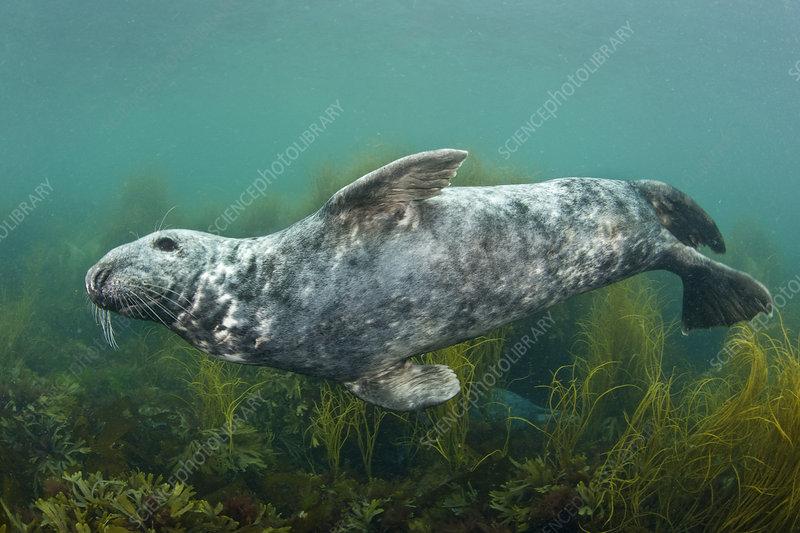 Male Atlantic grey seal swimming over seaweed