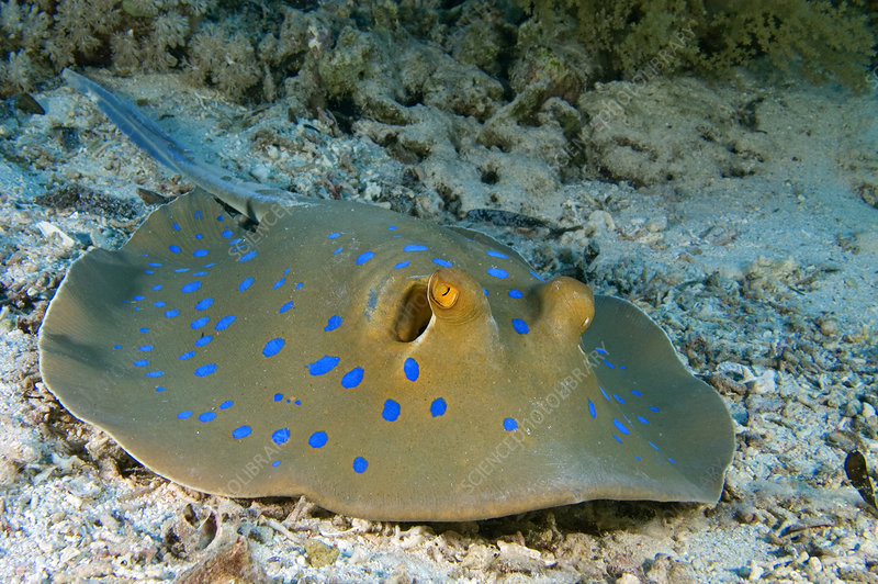 Blue-spotted, Ribbontail Stingray resting on the seabed