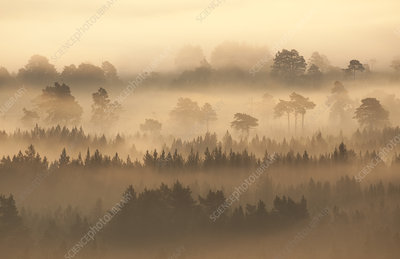 Native pine forest silhouetted in dawn mist, Scotland, UK