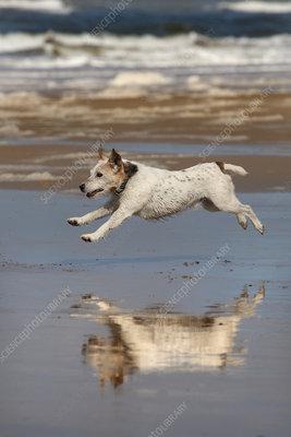 Jack Russell terrier running on beach