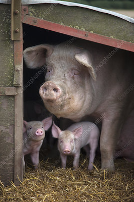 Domestic pig, hybrid large white sow and piglets in sty, UK