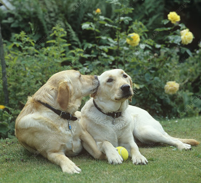 Two Yellow labradors