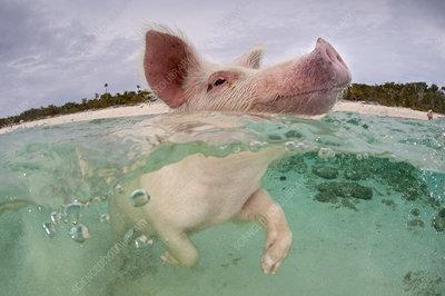 Domestic pig swimming in sea, Exuma Cays, Bahamas
