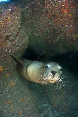 Adult California sealion resting in rocky cave