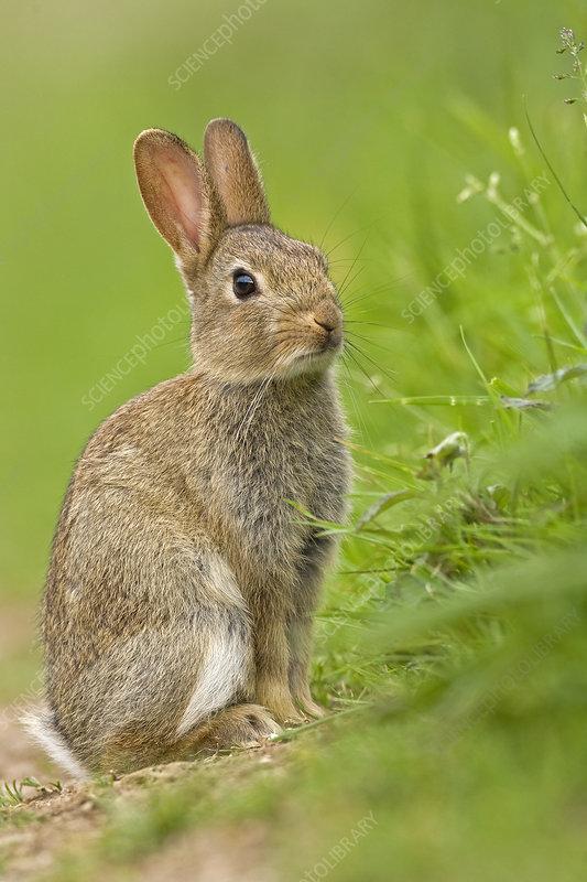 European Rabbit juvenile, UK