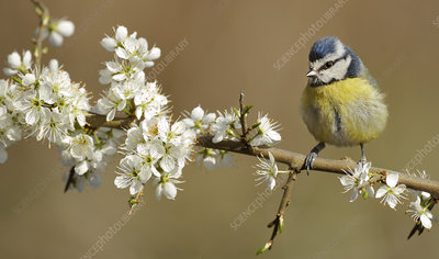 Blue Tit perched on blossoming twig, Wales, UK
