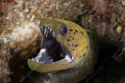 Fimbriated moray eel peering out of a hole