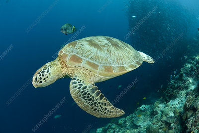 Green turtle with reef fish and schooling Bigeye jacks