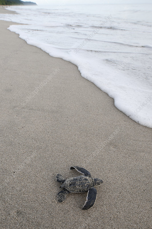 Newly hatched Leatherback turtle baby moving from the nest