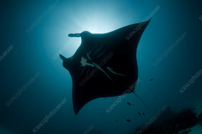 Giant manta ray at a cleaning station