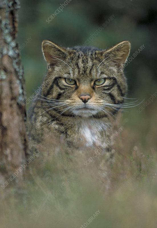 Wild cat beside tree, Scotland, UK