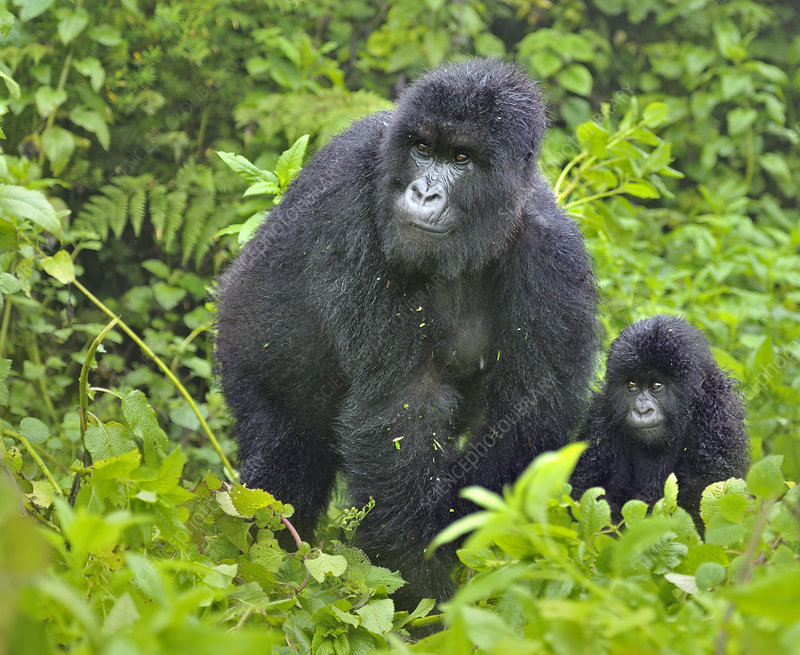 Mountain Gorilla adult with infant, Rwanda, Africa