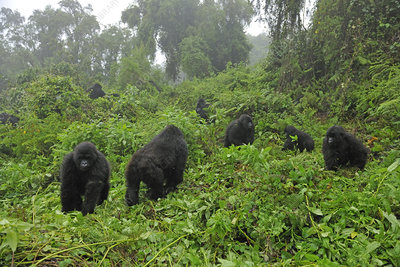 Mountain Gorilla family group in a forest clearing, Rwanda
