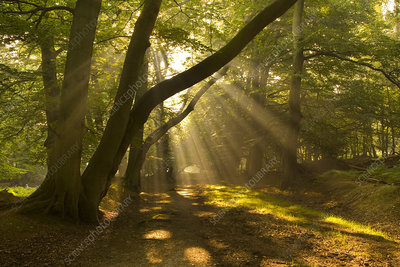 Shaft of Sunlight in Beech woodland in autumn