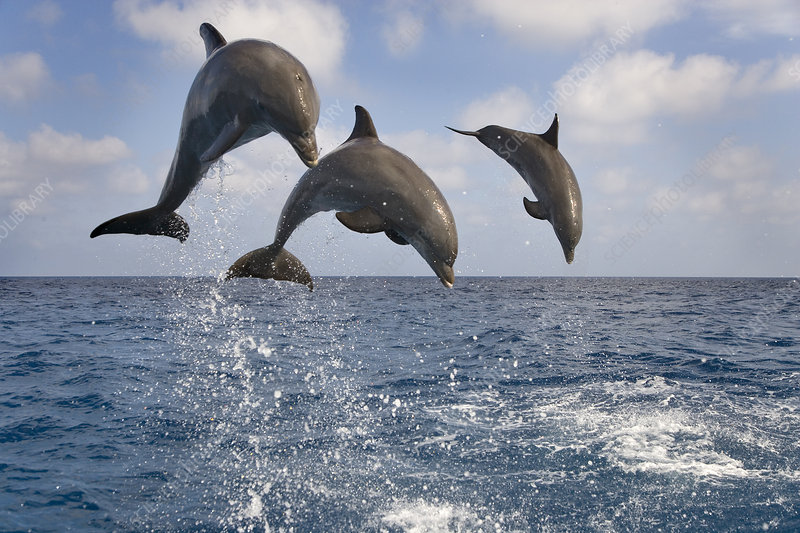 Three Bottle-nosed dolphins breaching, Bay Islands, Honduras