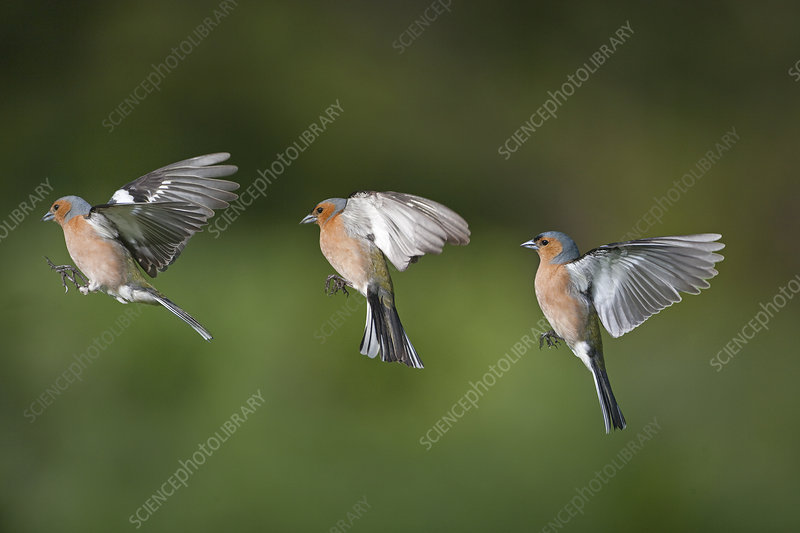 Chaffinch male in flight, showing flight sequence