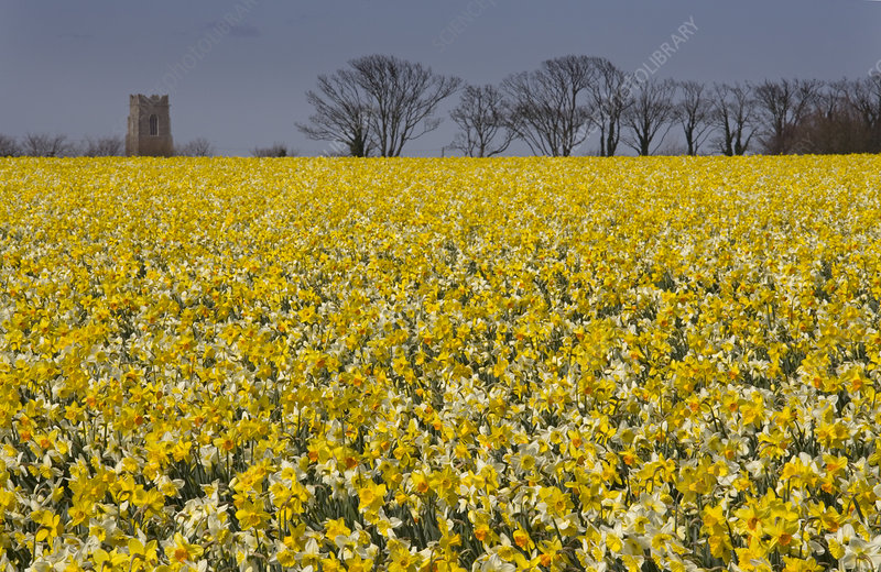 Field of Daffodils (Narcissus sp)
